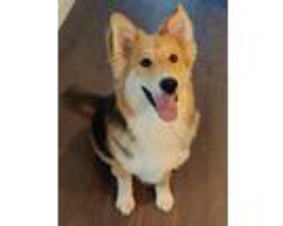 Adopt Ronan a Tricolor (Tan/Brown & Black & White) Shepherd (Unknown Type) /