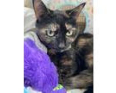Adopt Hazy a Tortoiseshell Domestic Shorthair (short coat) cat in CHESAPEAKE