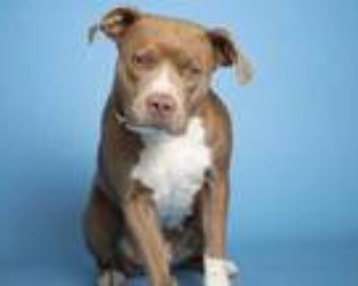 Adopt MARTHA STEWART a Brown/Chocolate - with White American Pit Bull Terrier /