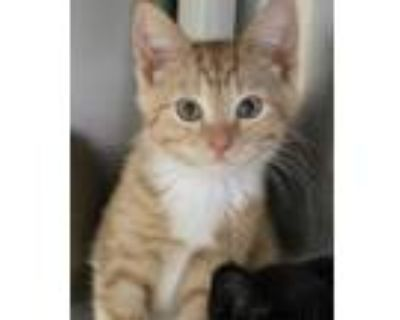 Adopt Bjorn a Orange or Red Domestic Shorthair / Domestic Shorthair / Mixed cat