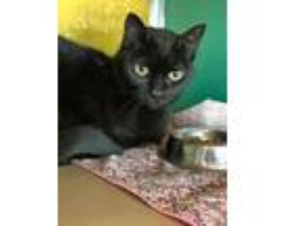 Adopt Tots a All Black Domestic Shorthair / Domestic Shorthair / Mixed cat in