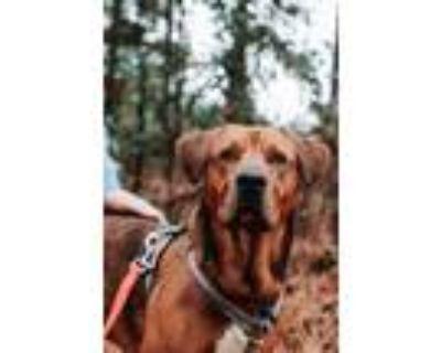Adopt Dozer - would like a brother or sister! a Labrador Retriever, Shepherd