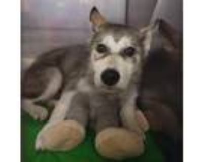 Adopt Balto a White - with Tan, Yellow or Fawn Husky / Mixed dog in Jefferson