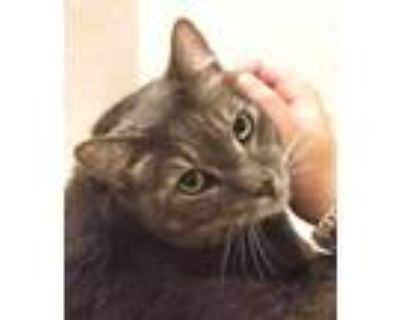 Adopt Harry and Henry a Domestic Short Hair, Tiger
