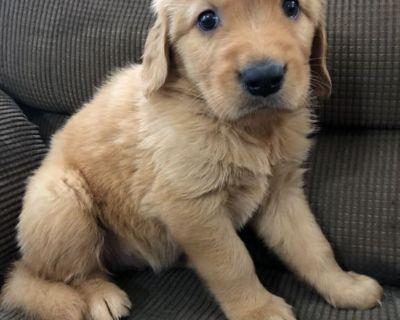 AKC Adorable Golden Retriever Puppies!