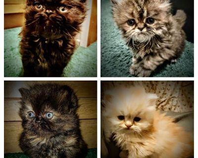 ~DOLL-FACE PERSIAN KITTENS~