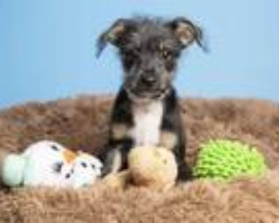 Adopt PERCY a Black - with Tan, Yellow or Fawn Cairn Terrier / Mixed dog in