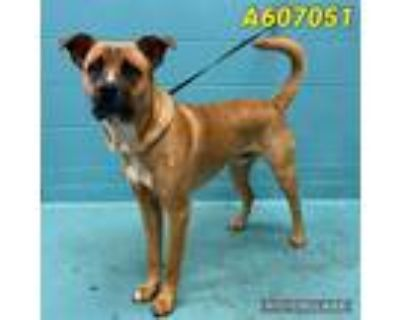 Adopt CHARBONO a Brown/Chocolate - with White Labrador Retriever / Mixed dog in