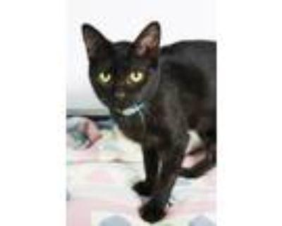 Adopt Esmerelda a All Black Domestic Shorthair (short coat) cat in New