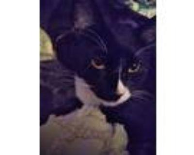 Adopt Dash a Domestic Shorthair / Mixed cat in Calimesa, CA (28064623)