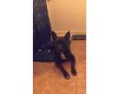 Adopt Cora Mason a Black - with White American Pit Bull Terrier / Mixed dog in