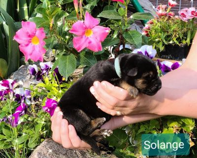 World Sieger bloodline pups sired by #1 dog in country in 2019 !
