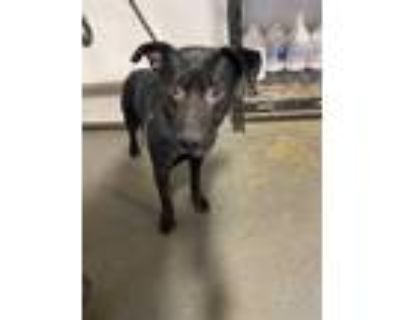 Adopt a Black Labrador Retriever / Mixed dog in Bakersfield, CA (31141869)