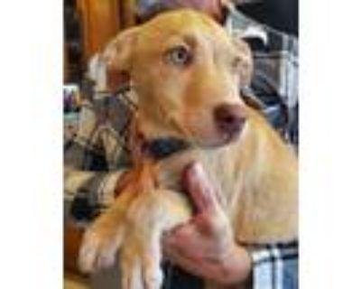 Adopt Sarge a Labrador Retriever, Husky