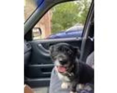 Adopt Ratchet a Black - with White Spitz (Unknown Type, Medium) / Mixed dog in