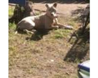 Adopt Nyla a Tan/Yellow/Fawn American Pit Bull Terrier / Mixed dog in New