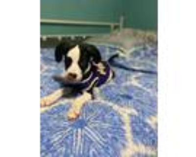 Adopt Cosette a Pit Bull Terrier / Husky / Mixed dog in Morgantown