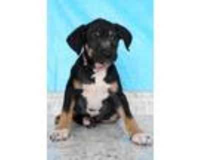 Adopt France a Tricolor (Tan/Brown & Black & White) Labrador Retriever / Mixed