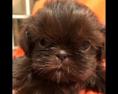 Liver Shih Tzu Puppies