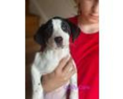 Adopt Candy Cane a Black - with White Hound (Unknown Type) / Pointer dog in