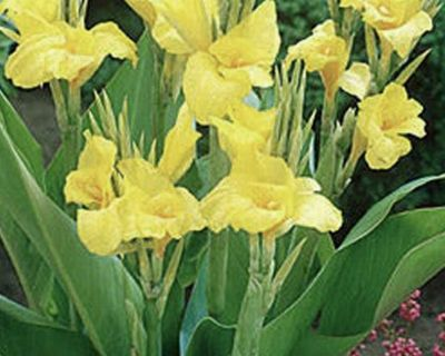 Yellow Canna lily !!! Lots available