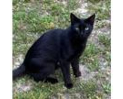 Adopt Toulouse a Domestic Shorthair / Mixed (short coat) cat in Clinton