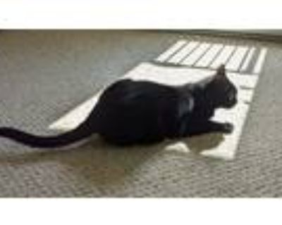 Adopt Han Solo a Black (Mostly) American Shorthair (short coat) cat in