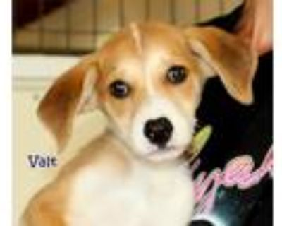 Adopt Valt a Brown/Chocolate - with White Mountain Cur / Husky / Mixed dog in