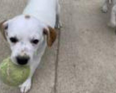 Adopt BEN a Terrier, Mixed Breed