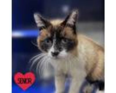 Adopt Moody a White (Mostly) Siamese / Mixed cat in North Hollywood