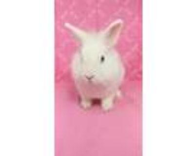 Adopt Kynlee a Bunny Rabbit, Lionhead