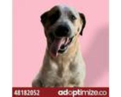 Adopt Daisy a Australian Cattle Dog / Blue Heeler, Mixed Breed
