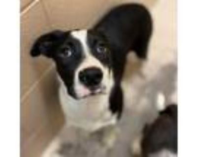 Adopt Olivia a Border Collie, Pit Bull Terrier