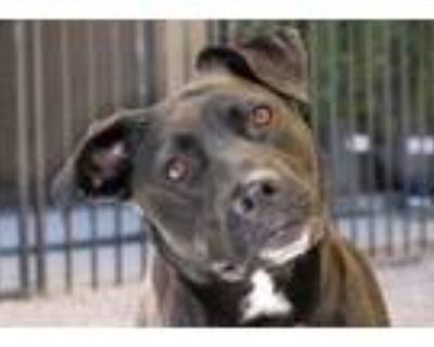 Adopt Ella a Labrador Retriever, Mixed Breed