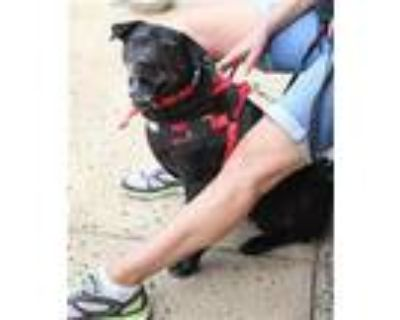 Adopt Okra a Labrador Retriever, Shar-Pei