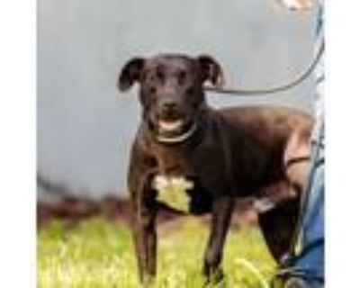 Adopt Scout a Black - with White American Pit Bull Terrier / Mixed dog in