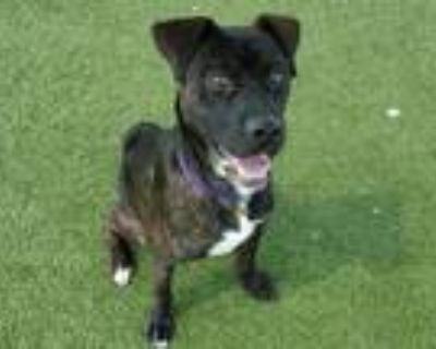 Adopt DINO a Pit Bull Terrier / Boxer / Mixed dog in Denver, CO (32119966)