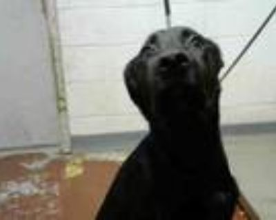 Adopt YAZMIN a Labrador Retriever, Mixed Breed