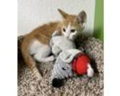 Adopt Rork a Orange or Red (Mostly) Domestic Shorthair (short coat) cat in