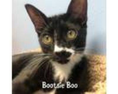 Adopt Bootsie Boo a Tuxedo, Domestic Short Hair