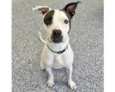 Adopt Astrid a White American Pit Bull Terrier / Mixed dog in Indianapolis