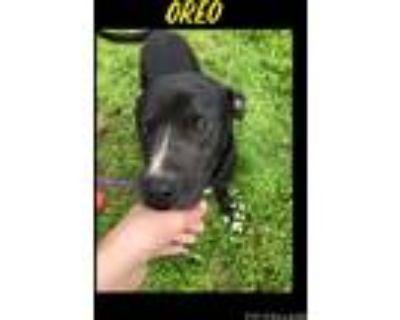 Adopt Oreo a Black - with White Labrador Retriever / Mixed Breed (Medium) /