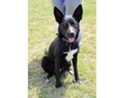 Adopt Ace a Border Collie / Shepherd (Unknown Type) / Mixed dog in Arlington