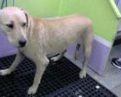 Adopt A1776101 a Labrador Retriever, Mixed Breed