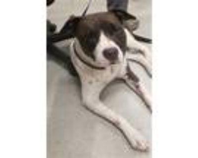 Adopt ISABELLA a Black Labrador Retriever / Mixed dog in Indianapolis