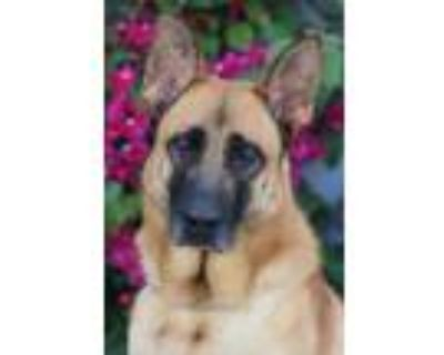 Adopt Rogan von Rodalben a Tan/Yellow/Fawn - with Black German Shepherd Dog /