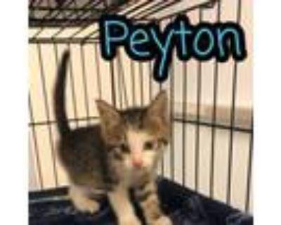 Adopt Peyton a Domestic Short Hair