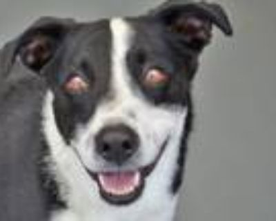 Adopt MACY a Border Collie, Whippet
