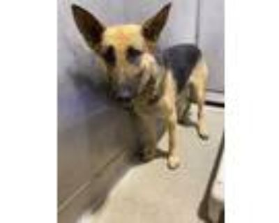 Adopt CACEY a Tan/Yellow/Fawn - with Black German Shepherd Dog / Mixed dog in