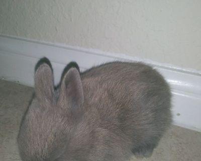 Netherland Dwarfs Bunnies Rabbits Netherland Dwarf Bunny Rabbit